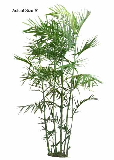 The Large Bamboo Palm