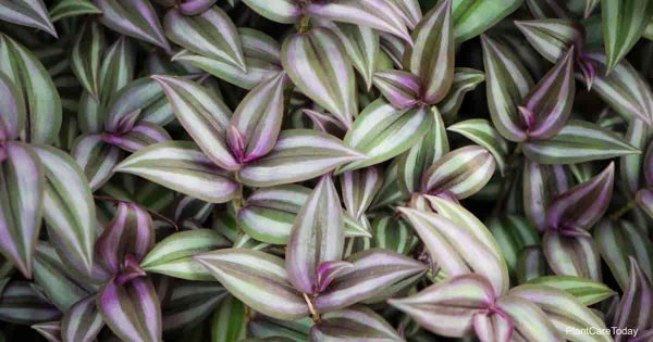 Is The Wandering Jew Plant Poisonous or Toxic?