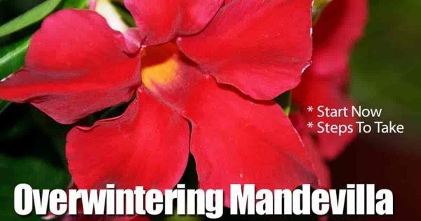 Tips For Successful Mandevilla Winter Care