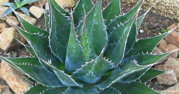 Agave Montana Care: How To Grow Mountain Agave