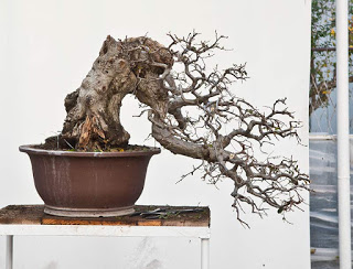 SandevBonsai 2019 – Prunus mume in Walter Palls eyes