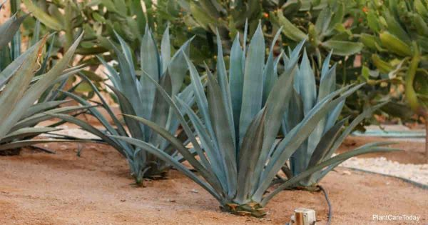 Learn Blue Agave Plant Care (Agave Tequilana)