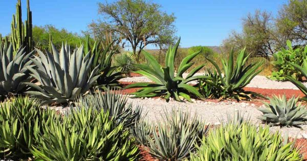 Types Of Agave Plants For The Garden