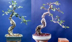 Prunus #23