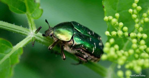 How To Control Figeater Beetle Infestations