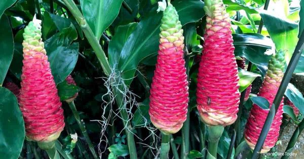Zingiber Zerumbet Care: All About Growing Shampoo Ginger
