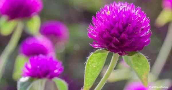 Growing Globe Amaranth: Learn Gomphrena Plants Care
