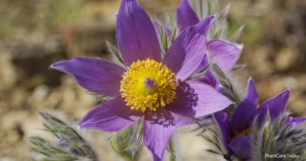 Pasque Flower: How To Grow and Care For Pulsatilla Vulgaris