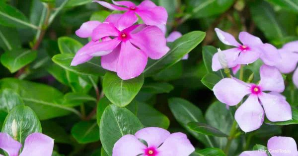 Is The Periwinkle Plant Poisonous or Toxic?