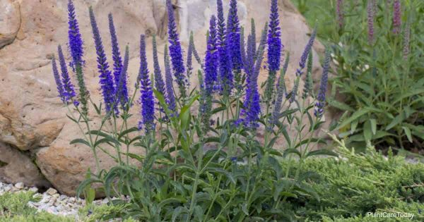 Echium Candicans Care: Learning To Grow Pride Of Madeira