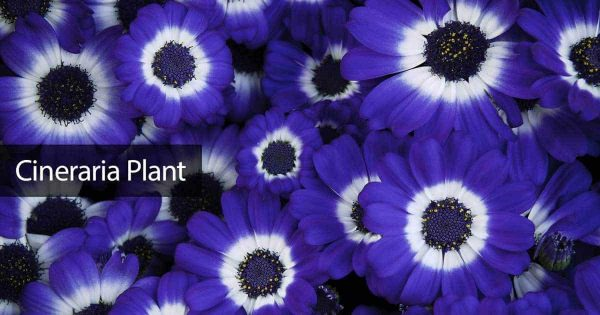 Cineraria Flowers: How To Grow And Care For Cineraria Plants