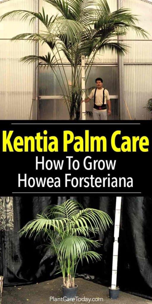 Howea Forsteriana Kentia Palm Care Tips