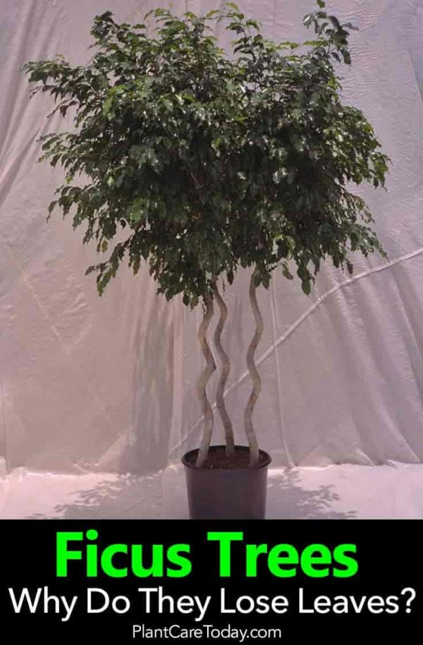 Ficus Tree Losing Leaves? The WHY