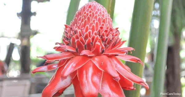 Torch Ginger Care Tips