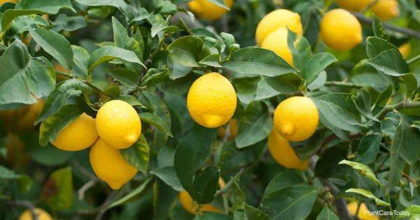 When & How To Use Lemon Tree Fertilizer