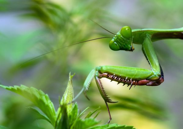 What Do Praying Mantis Eat: Are They Good For Your Garden