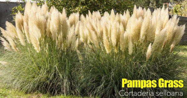 Pampas Grass Care | Growing, Pruning Cortaderia Selloana