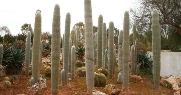 Old Man Cactus: How To Grow and Care For Cephalocereus Senilis