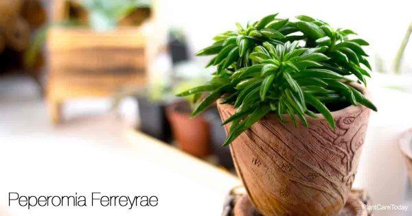 Pincushion Peperomia Care: Tips On Growing Peperomia Ferreyrae