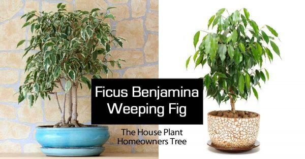 Ficus Benjamina Tree – Weeping Fig