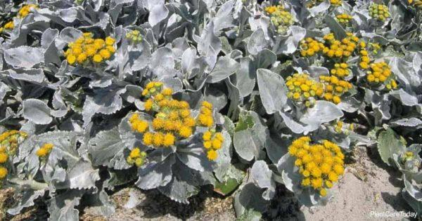 Growing Senecio Angel Wings Plants: Caring For Senecio Candicans