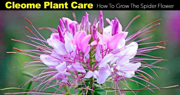 Cleome Plant Care: How To Grow The Spider Flower