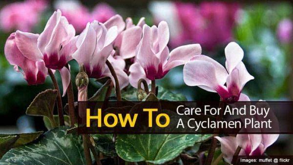 Cyclamen Care: Tips On Growing Cyclamen Plants