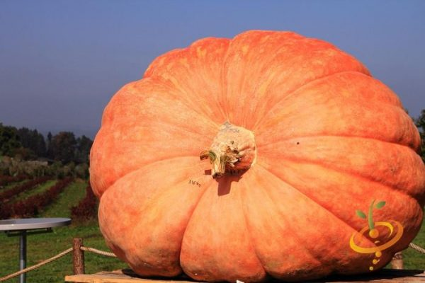 How to Grow Competition-Sized Pumpkins!