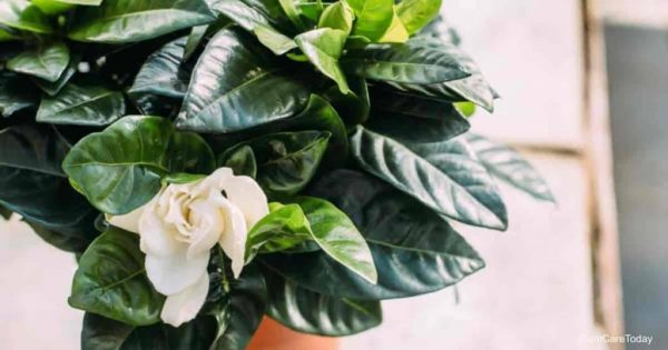 What Are The Light Requirements For Gardenia?