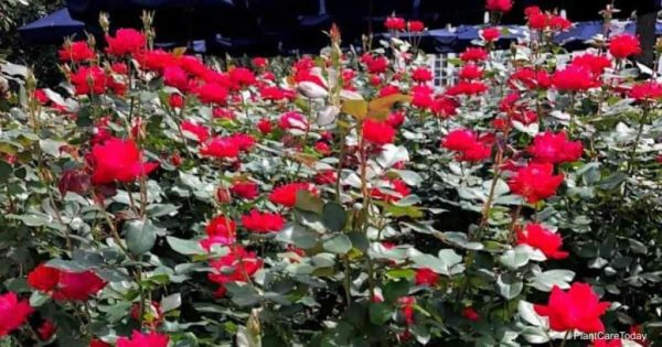 Are Knockout Roses Cold Hardy – How Much Cold Will Knockouts Take?