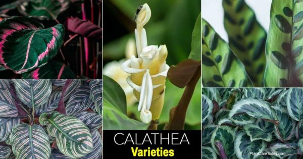 24 Best Calathea Varieties You Will Love To Grow and Collect