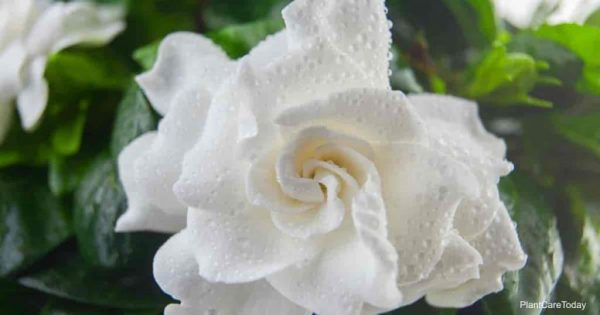Gardenia Bud Drop: What Causes It and How To Prevent it