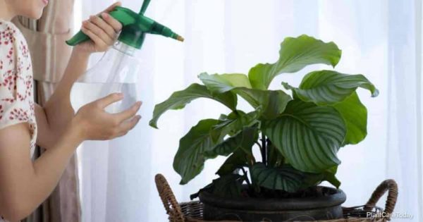 Calathea Watering: Why The Type Of Water Matters